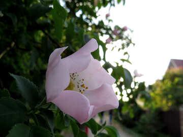 White  pink blossom flower №53435