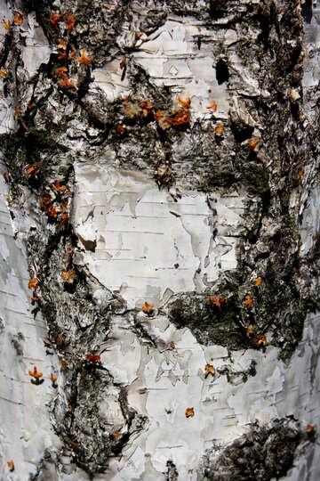 birch tree bark №53331