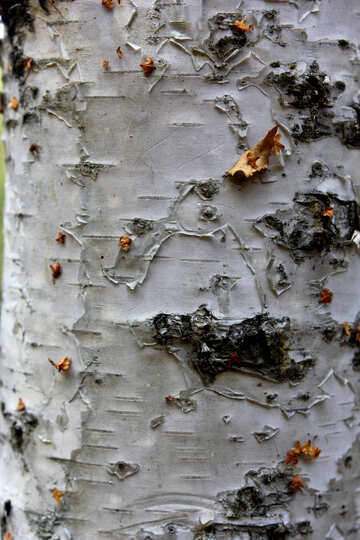 bark tree wood №53328