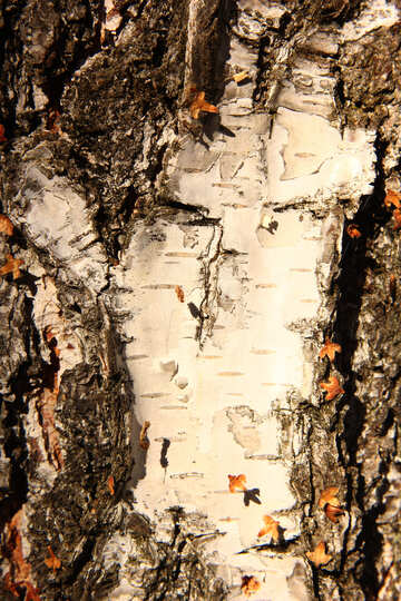 Tree bark silver birch №53267