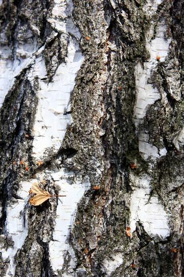 White and  black Bark tree №53325