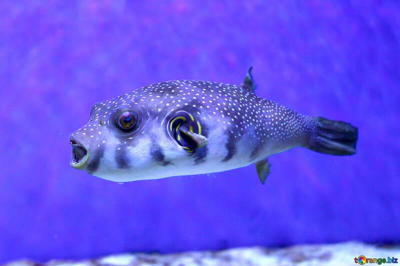 Fish puffer №53900