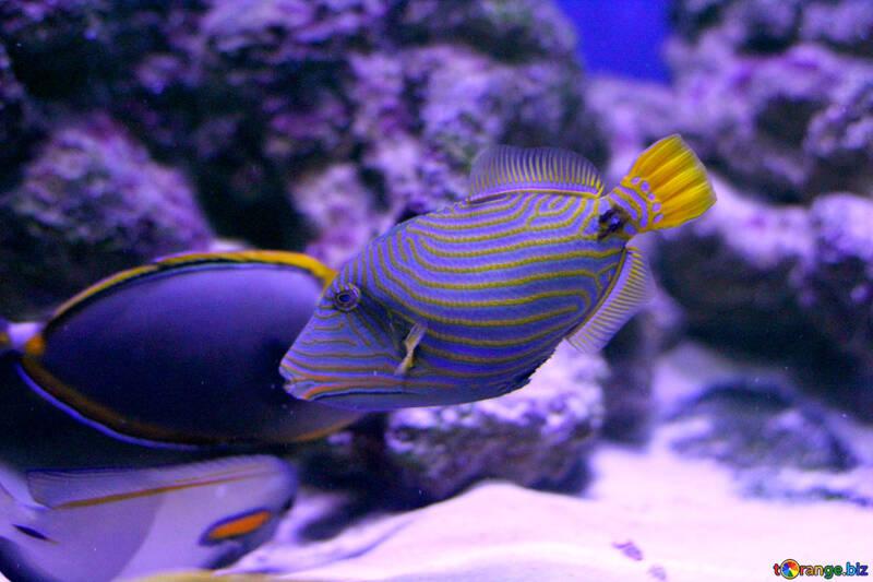 Purple fish ocean beautiful sea purple striped fish №53922