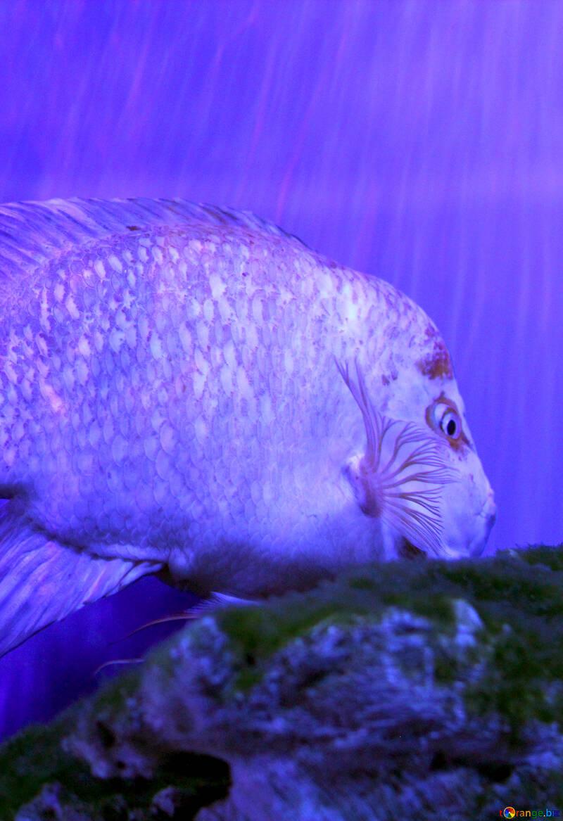 Purple fish under water №53829