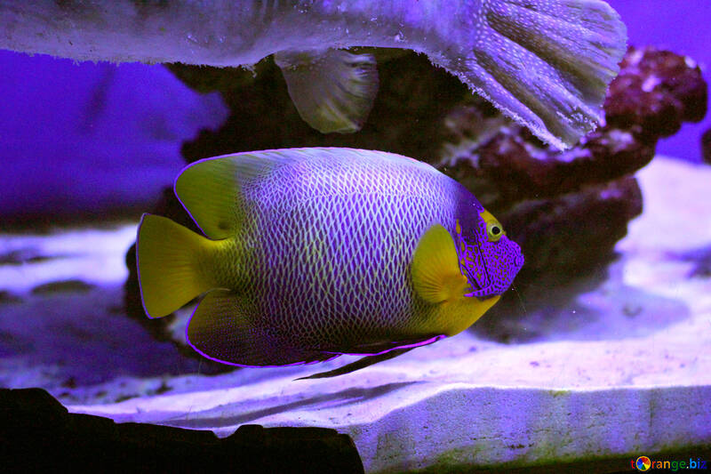 Purple and yellow fish underwater aquarium №53891