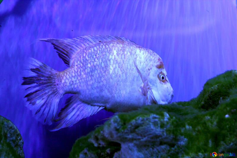 ocean blue swimming Poisson Fish №53828