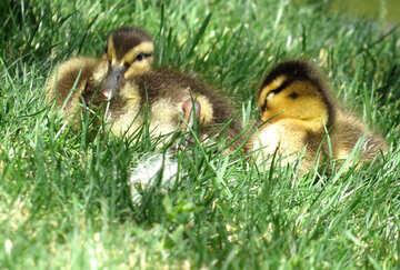 baby ducks №54345
