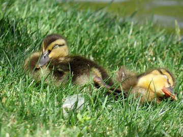 baby ducks in the grass №54344