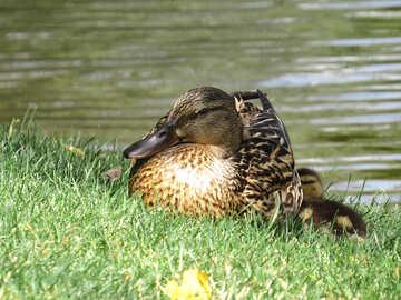 a duck №54360