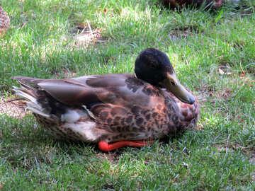duck,backrouds №54240