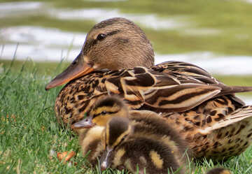 Duck and duckling №54347