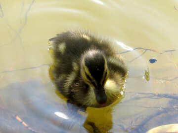 Pato en el agua №54262