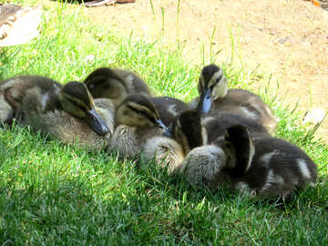ducklings №54257