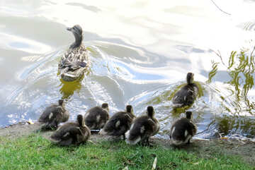 Ducks going into the water baby and mom №54282