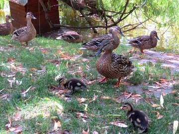 ducks in lawn river №54314