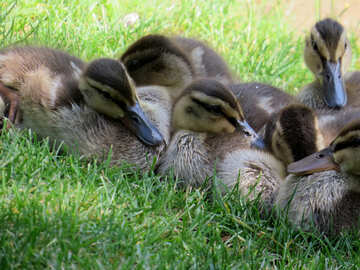 a flock of ducklings on the grass №54256