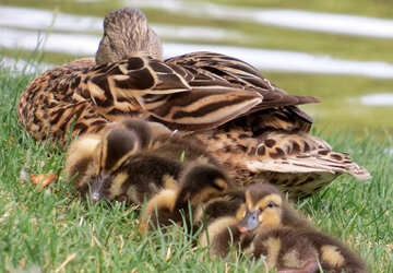 a mother duck with her ducklings laying down in the grass №54348