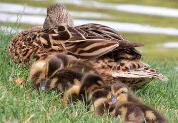 Una madre pato con sus patitos tumbados en la hierba №54348
