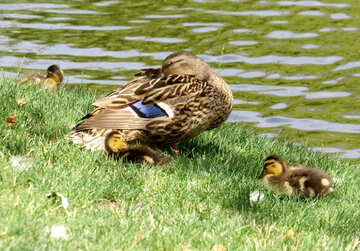 a mother duck with three chicks are by the waterside. №54343