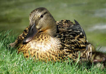 Nice duck №54361