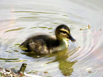 Nice  duckling №54261
