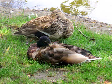 two ducks sleeping №54237