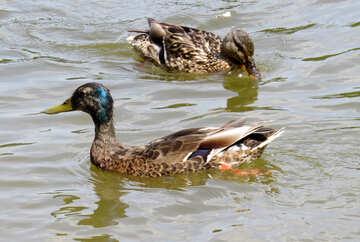 Two ducks water №54333