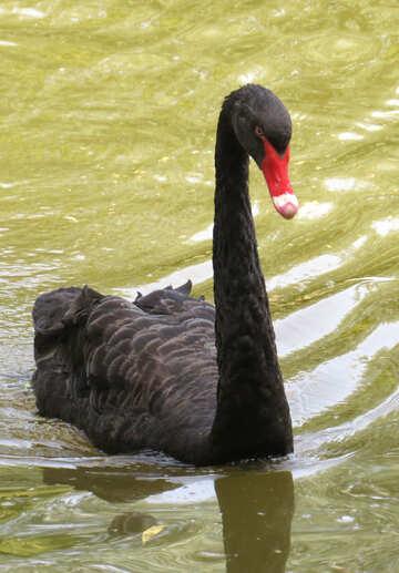 Черная птица с красным клювом лебедь черная птица №54328