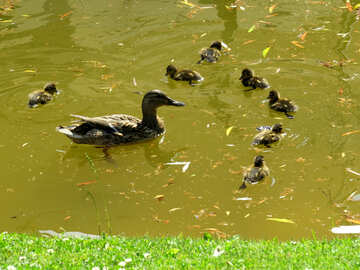 duck and ducklings in a pond swimming №54272