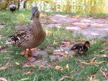 Duck and its mom then the hawk behind them and the grass №54309