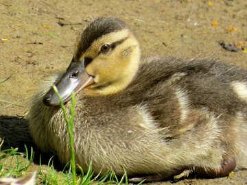 duckling №54253