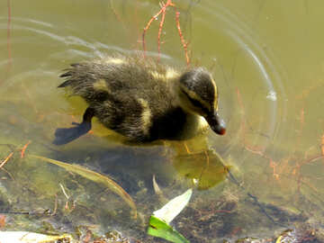 A duckling swiming №54268