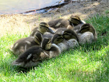 ducklings cuddleing to keep warm №54258
