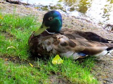 bird grass leaf sitting duck №54248