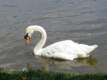A swan in a lake №54359