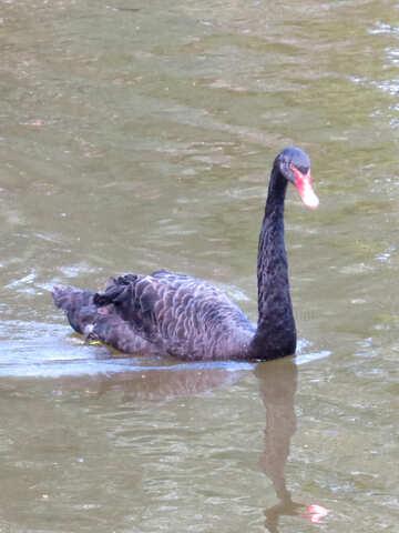black bird swan a swimming in the water №54207