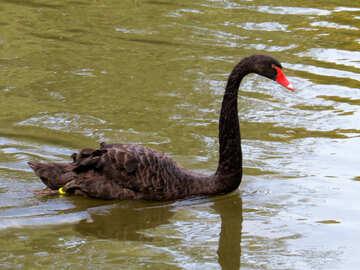black swan №54208