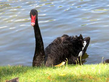 Black swan №54373