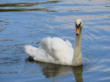 Beautiful swan swimming in a body of water №54218