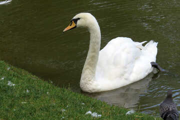 Cool swan swimming in a body of water №54222