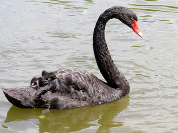 Black swan swimming in a body of water floating bird №54338