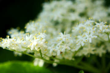 Meadowsweet macro photography wildflower a close up of a flower №54419