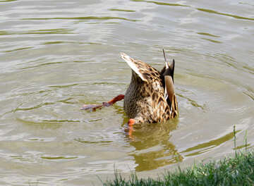 duck dipping head pond №54363
