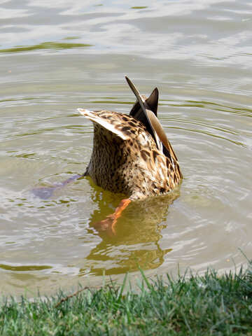 Duck face down in water bird catching fish Animal diving №54362