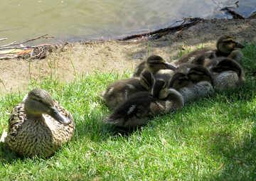 ducks with children birds river city water №54259