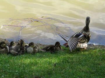 Mother and baby ducks ducklings birds №54278