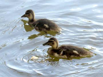 Две утки плавают в озере №54292