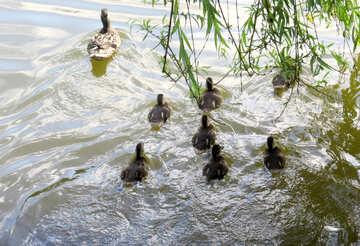 ducks in pond №54283