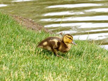 Nice duck on a grassy field small walking №54332