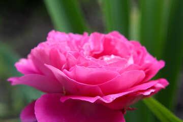 Petali di fiori №54403